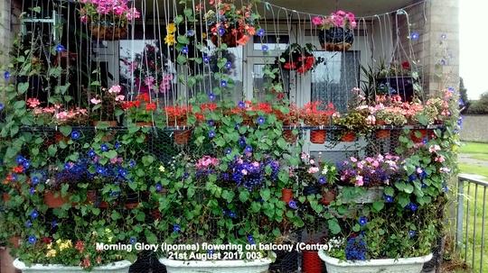Morning Glory (Ipomoea) flowering on balcony (Centre) 21st August 2017 003 (Ipomoea purpurea (Morning glory))