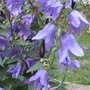 Campanula Blue Bells