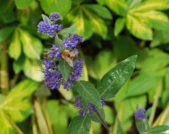 Bees on Caryopteris.... (Caryopteris Heavenly Blue.)