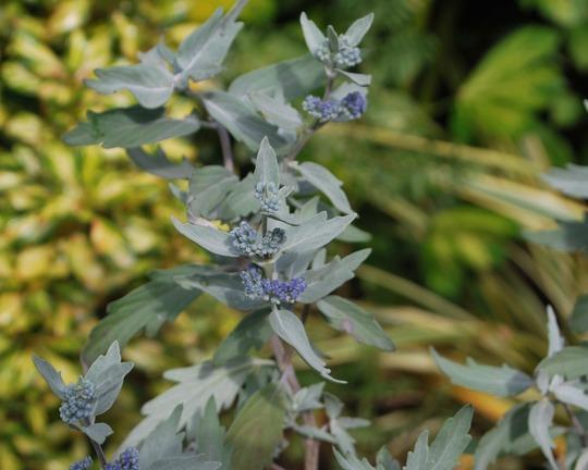 Caryopteris Sterling Silver... (Caryopteris x clandonensis Sterling Silver.)