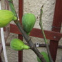 I love Figs (Ficus carica (Fig))