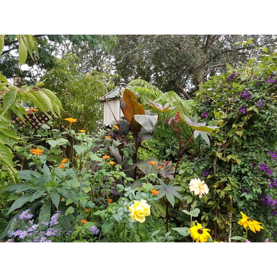 Back border... (Ricinus communis (Castor oil plant))