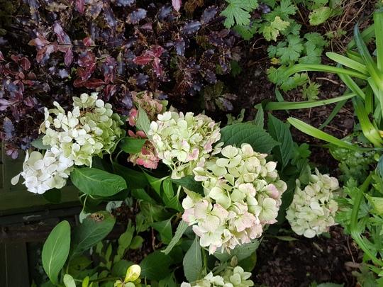 Blousy  Hydrangea and Pittosporum.. (Hydrangea mophead.)