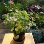 New Pelargonium flowering.. (Pelargonium capitatum Chairman Snowflake.)
