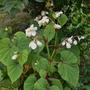 Begonia grandis subsp evansiana var alba - 2017 (Begonia grandis)