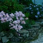 Chrysanthemums,  Aster