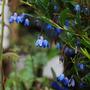 Sollya heterophylla / Billardiera heterophylla (Sollya heterophylla (Bluebell Creeper))