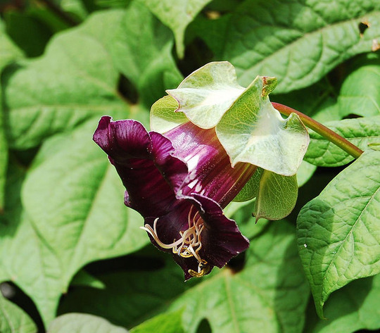 Cobaea scandens (Cobaea scandens (Cup and saucer plant))