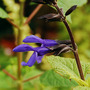 Salvia guaranitica 'Black and Bloom' (Salvia guaranitica)