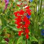 Salvia coccinea (standard form) (Salvia coccinea (Sage))