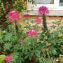 Cleome hassleriana (Cleome hassleriana (Spider flower))