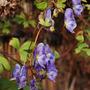 Aconitum volubile (Aconitum volubile)