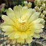 Notocactus warassii