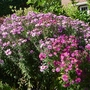 New_england_asters_2017