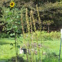 hollyhocks are finished ~ finally the sunflower blooms!