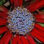 And finally..... (Fascicularia Bicolor.)
