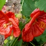 Abutilon F1 Bella
