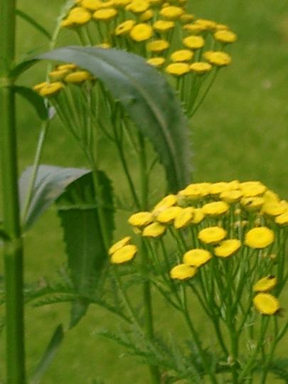 Tansy (Tanacetum vulgare (Common tansy))
