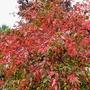 Euonymus europaeus ...Red Cascade  ..