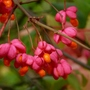 Eunominus e.  Red Cascade berries