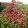 Callicarpa dichotoma (autumn foliage) - 2017 (Callicarpa dichotoma)