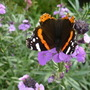 Very few Butterflies this year. Spotted this Red Admiral on the Perenial wallflowers