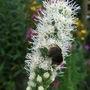 Liatris spicata 'Alba' (Liatris spicata)