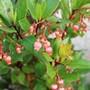 Arbutus unedo Rubra (Arbutus unedo 'Rubra')
