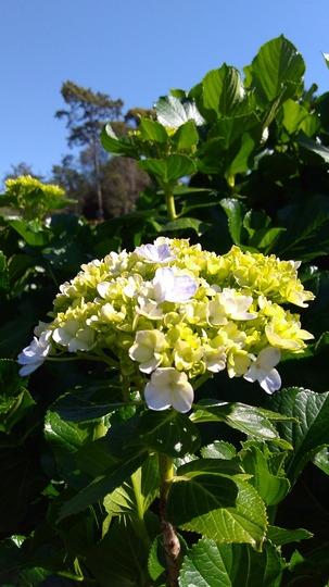 Summer is showing up (Hydrangea macrophylla (Hortensia))