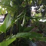 Heliconia schiedeana - Claw Flower