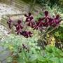 Pelargonium sidoides (Pelargonium sidoides (Geranium))