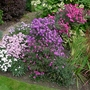 Autumn_border_asters_30th_september