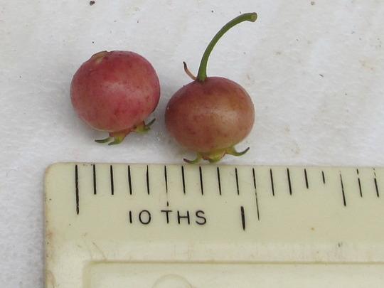 Chilean Guava Fruit (Ugni molinae)