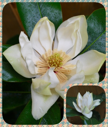 Magnolia Grandiflora... (Magnolia grandiflora (Bull Bay))