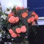 Begonia still flowering.