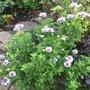 Osteospermum violet ice