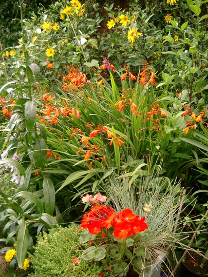 Late summer colours (Crocosmia x crocosmiiflora (Montbretia))