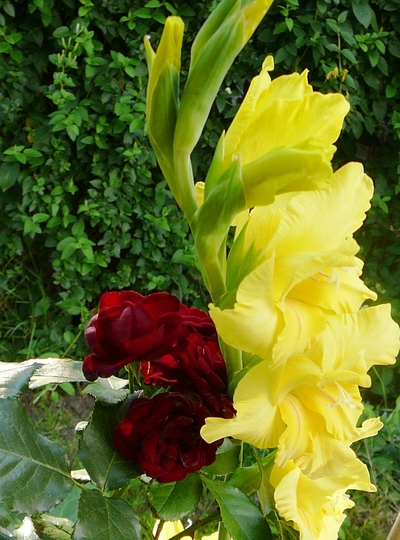 Yellow Glad and red rose nestling together. (Gladiolus grandiflorus)