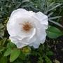 Hybrid tea Rose 'Virgo'