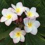 Plumeria 'Tomlinson'  (Plumeria 'Tomlinson')