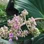 Medinilla cummingii - Philippine Orchid (Medinilla cummingii - Philippine Orchid)