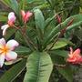 Plumeria 'Thai' (Plumeria 'Thai')