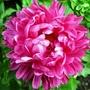 Pink Callestephus (Callestephus chinesis)