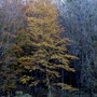 Golden Birch