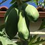 Carica papaya 'Red Caribbean' Fruit (Carica papaya 'Red Caribbean')