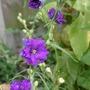 Summer_garden_2008_finn_and_popps_024
