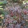 Azalea 'Hotspur Red' in it's autumn colour.