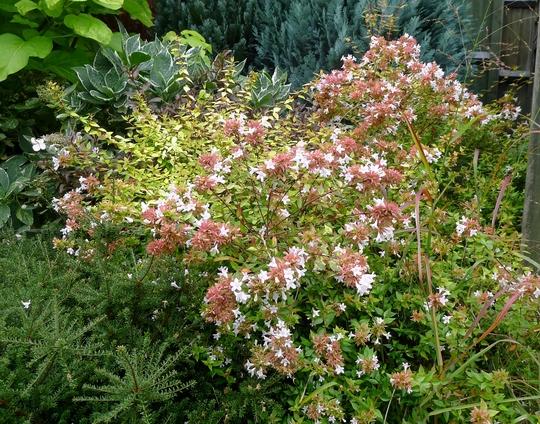 Abelia grandiflora 'Kaleidoscope' - 2017 (Abelia grandiflora 'Kaleidoscope')