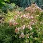 Abelia_grandiflora_kaleidoscope_2017