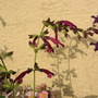 Salvia 'Love & Wishes' flowers (For my File) (Salvia)